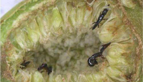Every time a fig is born there is a wasp massacre