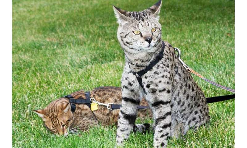 Exotic cats lend paws for better feline medicine