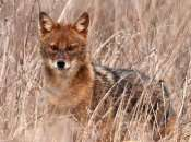 Expansion of golden jackal across Europe creates tricky legal issues