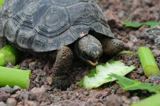 Experts believe 14 subspecies of tortoises have lived on the Galapagos Islands, of which three—including Chelonoidis sp—are exti