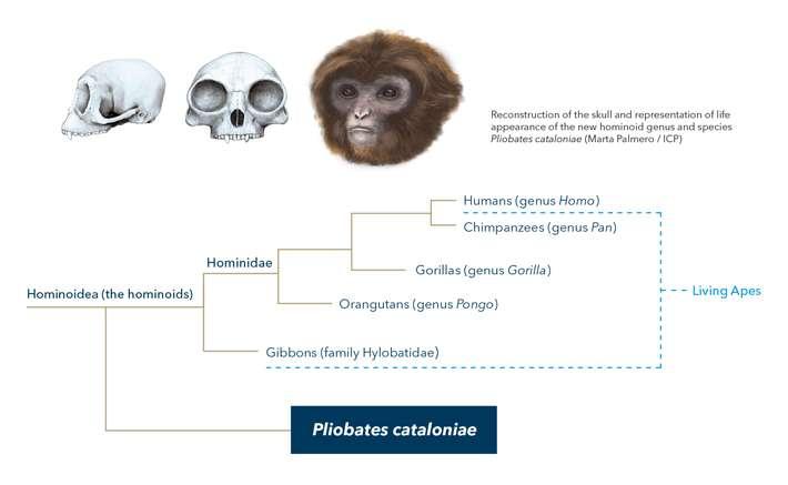 Extinct ape species resets the scale on humans' ancestors