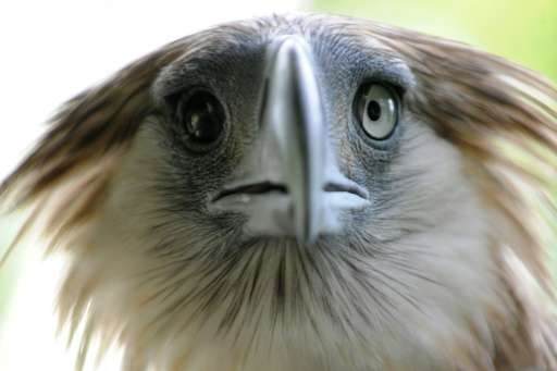 Famed for its elongated nape feathers that form into a shaggy crest, the Philippine eagle, one of the world's largest, grows up