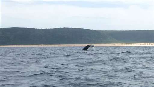 Feds say first humpback whales of season spotted in Hawaii