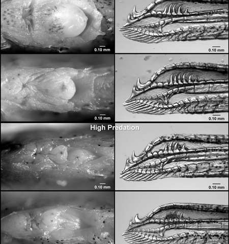 Female fish genitalia evolve in response to predators, interbreeding