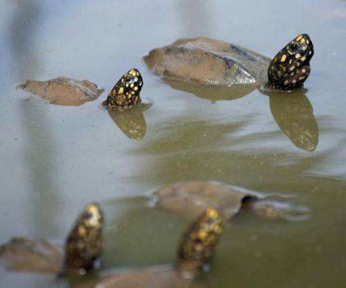 File photo taken on September 11, 2014 shows spotted pond turtles in a pool at a quarantine centre in the southern Pakistani cit