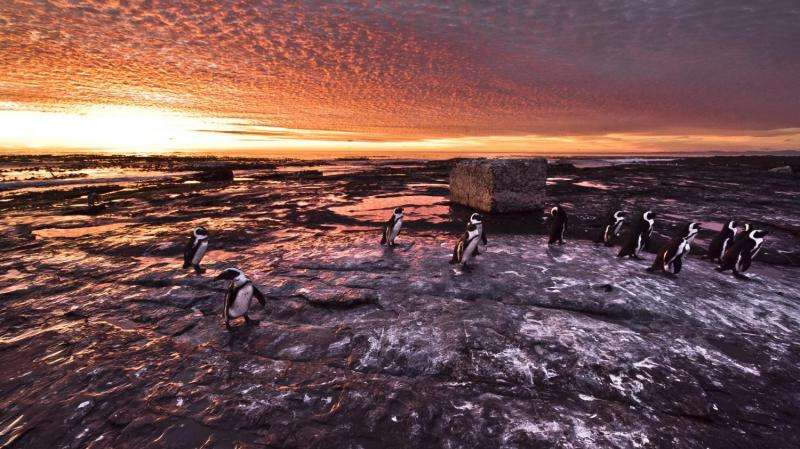Fishing ban rescues Robben Island penguin chicks