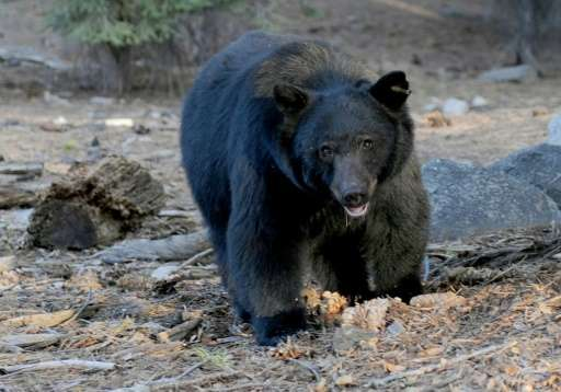 Florida's bear population has reached an estimated number of 3,000, having grown from just several hundred in the 1970s