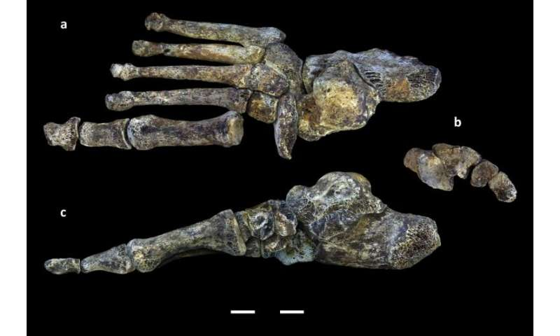Foot fossils of human relative illustrate evolutionary 'messiness' of bipedal walking