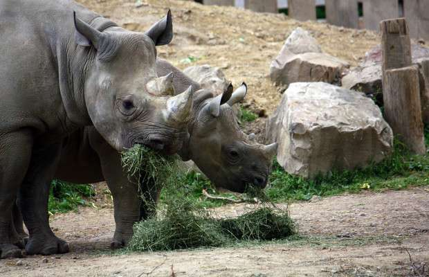 For black rhino, zoo diet might be too much of a good thing
