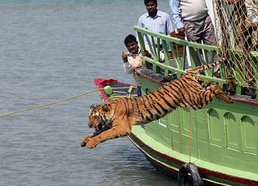 Forestry officials watch as a rescued tigress leaps into the Sundarikati river after being released at Sunderbans, in February 2