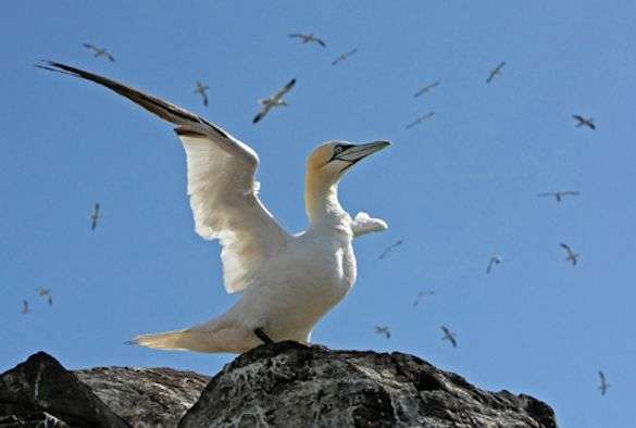Gannets to be tracked in real-time using 3G technology