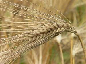 Genomic regions containing two-thirds of all annotated barley genes have been sequenced