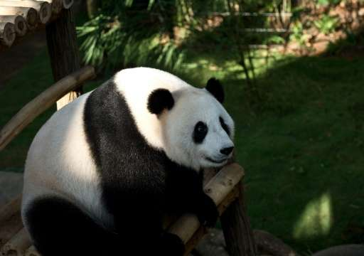 Giant panda 'Liang-Liang', pictured on June 25, 2014 at the National Zoo in Kuala Lumpur, gave birth to a cub