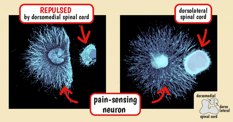 Glial cells use lipids to direct neuron organization in the spinal cord