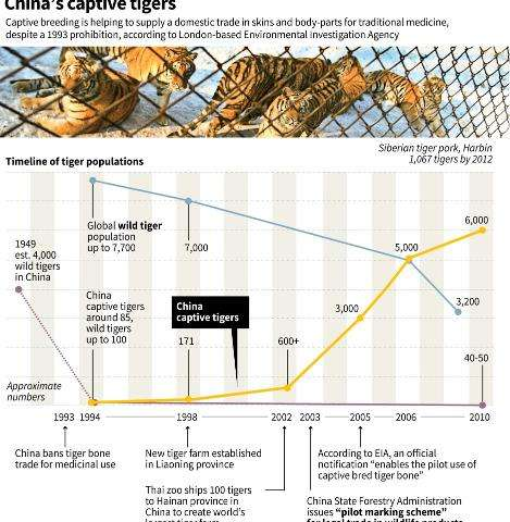 Graphic charting the rise in China's captive tiger population as the global wild population dives