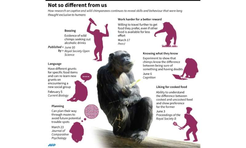 Graphic on recent research on chimpanzee intelligence and behavior
