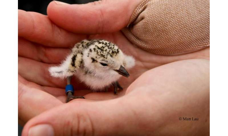 Gravel-camouflaged nests give threatened shorebirds a boost