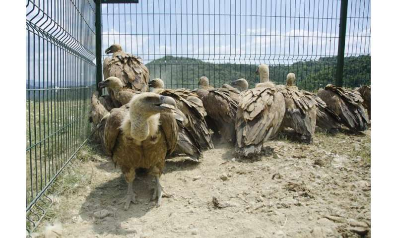 Griffon vultures are exposed to high concentrations of lead in their diets