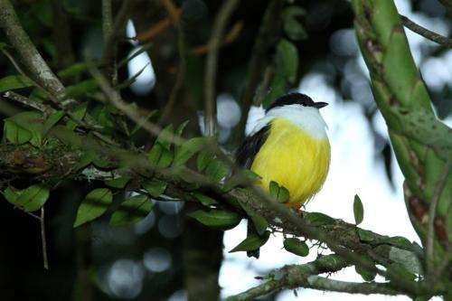 Habitat degradation and climate shifts impact survival of the White-collared Manakin