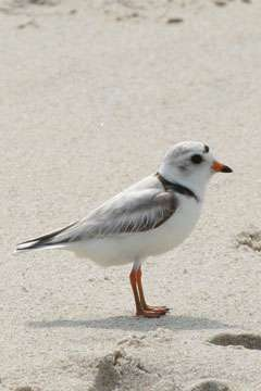 Habitat prediction model created to protect piping plovers