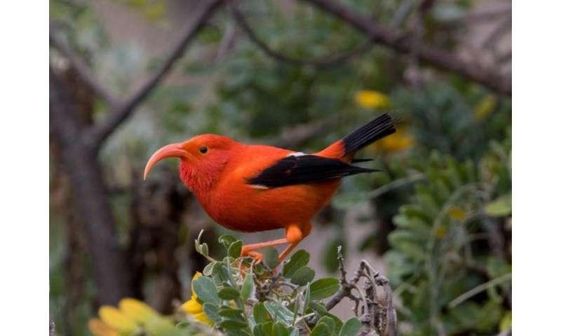 Hawaii's rarest birds may lose range to rising air temperatures, disease