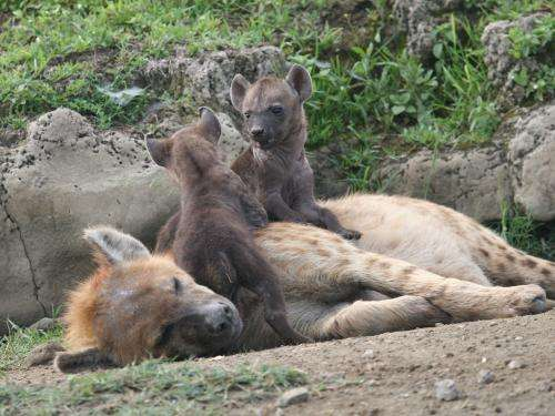 High cost of lactation compromises immune processes in spotted hyenas
