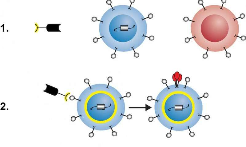 HIV cure research: NIH scientists create 2-headed protein to deplete HIV reservoir