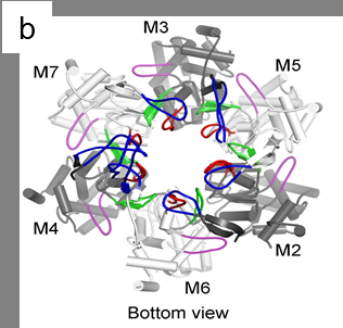 HKUST-Tsinghua University scientists solve the structure of the eukaryotic MCM2-7 complex