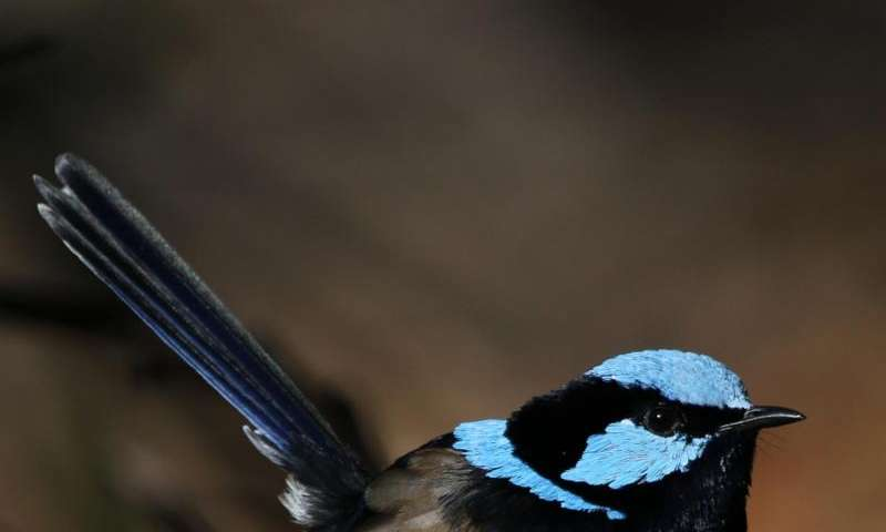 How birds learn foreign languages