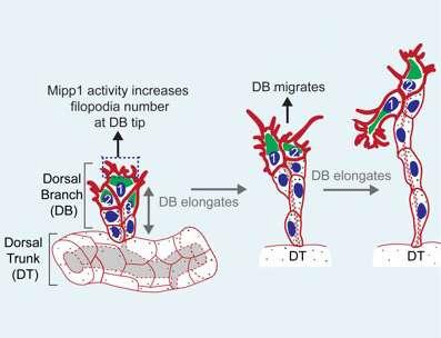 How cells 'climb' to build fruit fly tracheas