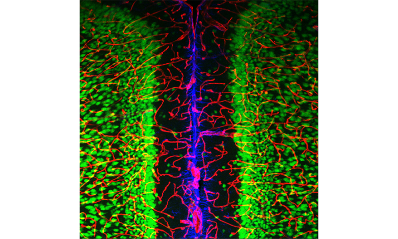 """How do neurons and blood vessels """"talk"""" to each other?"""
