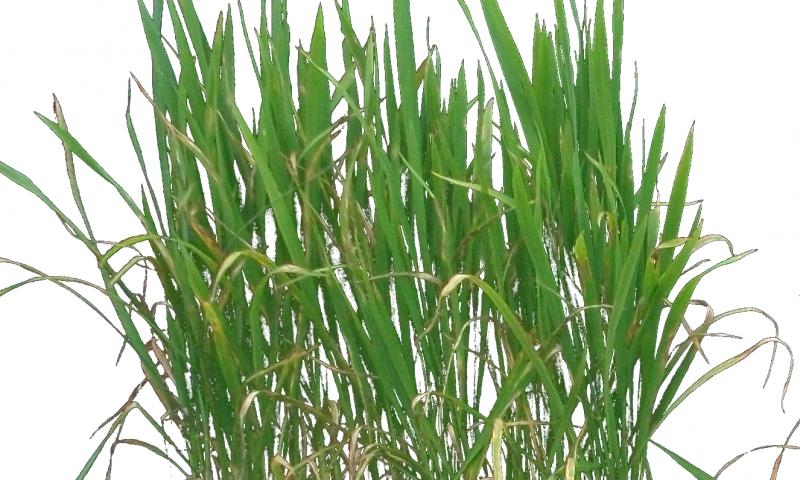 How plant sensors detect pathogens