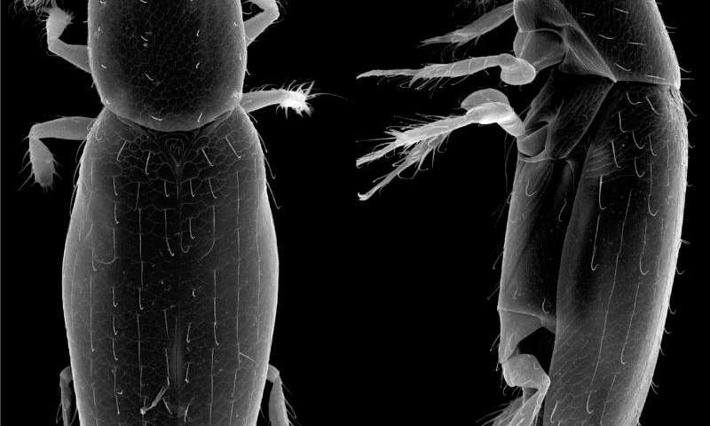 How small is the smallest? New record of the tiniest free-living insect provides precision