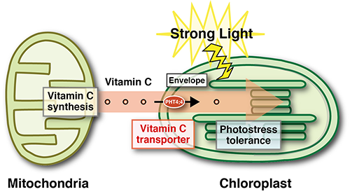 How vitamin c helps plants beat the sun ccuart Choice Image