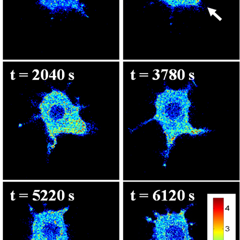 HyPer-Tau provides spatially-resolved hydrogen peroxide sensing in cells