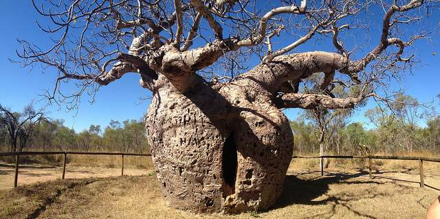 Iconic boab trees trace journeys of ancient Aboriginal people