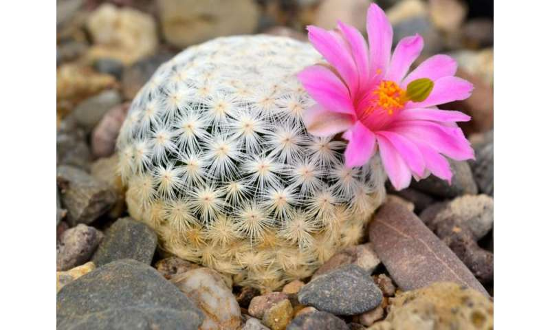 Cacti are renowned for their diverse forms and beautiful flowers. Credit: Jardín Botánico Regional de Cadereyta