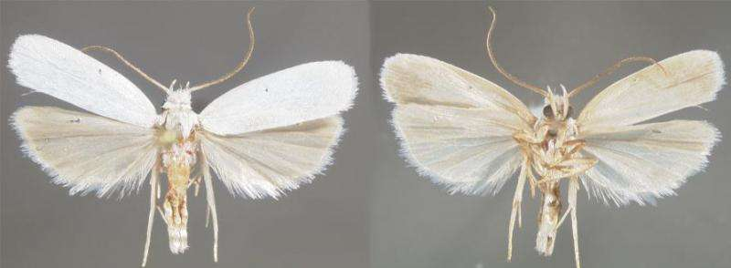 Immaculate white: New moth species preferring dry habitats is a rare case for Florida