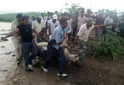 Indian rescue workers carry the body of an Asiatic lion in the Saurashtra region of Gujarat on June 27, 2015 after floods trigge