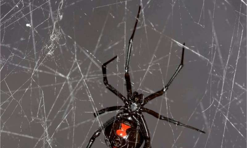 Insect DNA extracted, sequenced from black widow spider web