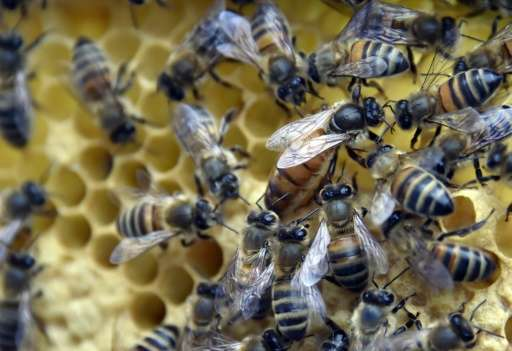 In the US, beekeepers lost 42% of colonies over the 12 months to May 2015, the second-worst year on record for US bee mortality,