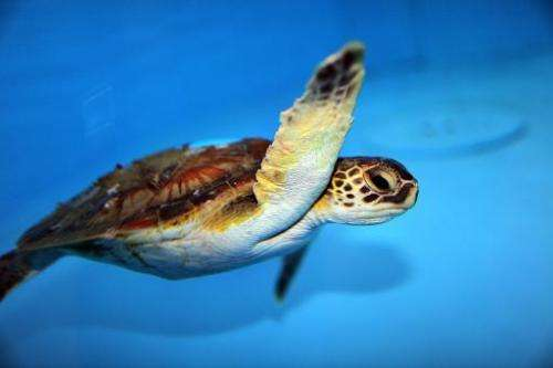In the waters of the west Atlantic and Gulf of Mexico, green turtles are found from Texas to Massachusetts, as well as the US Vi