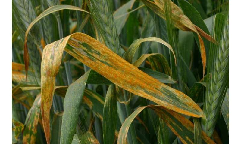 Invasions out of center of diversity increase the risk of disease epidemics in wheat