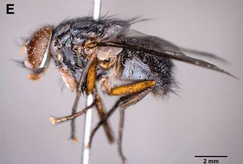 Invasive parasitic fly on Galapagos Islands probably came from mainland Ecuador