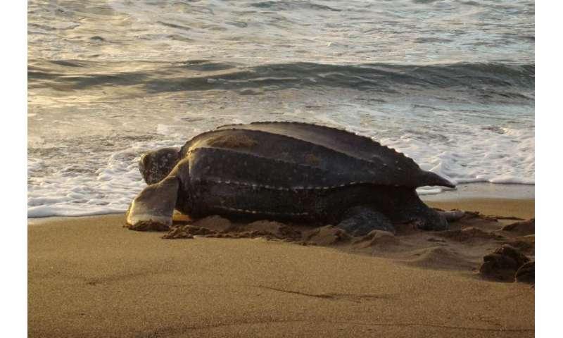 Leatherback sea turtles choose nest sites carefully, study finds