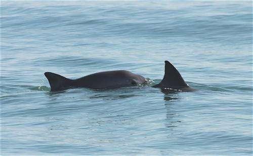 Lifeline extended for critically endangered porpoise