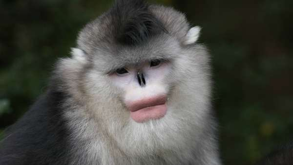 'Lipstick'-wearing males fare better in monkey business
