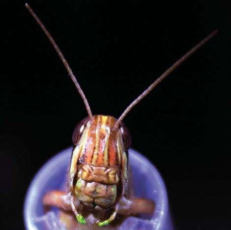 Locusts provide insight into brain response to stimuli, senses