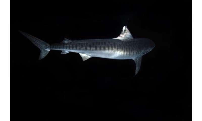 Longest ever tiger shark tracking reveals remarkable, bird-like migrations