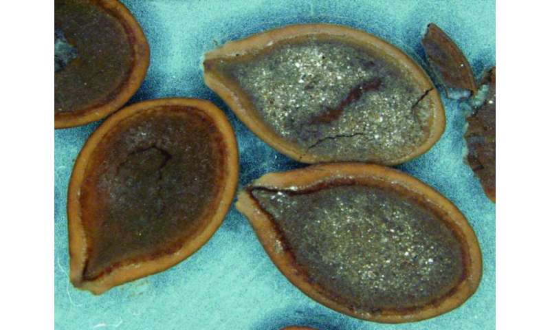 Loss of mastodons aided domestication of pumpkins, squash